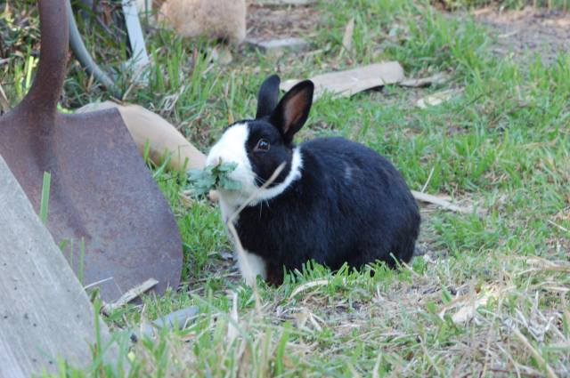 Bunny eating a mouthful of leaves