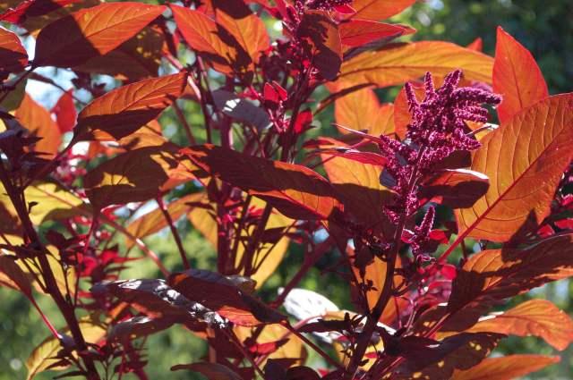 Red Amaranth backlit