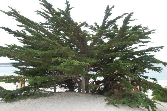 Carmel Beach Tree