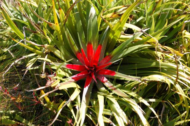 Succulent, Red and Green