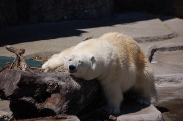 Polar Bear Chin Rub on a log