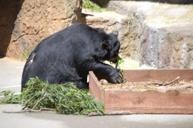 Bear with Corn On The Cob