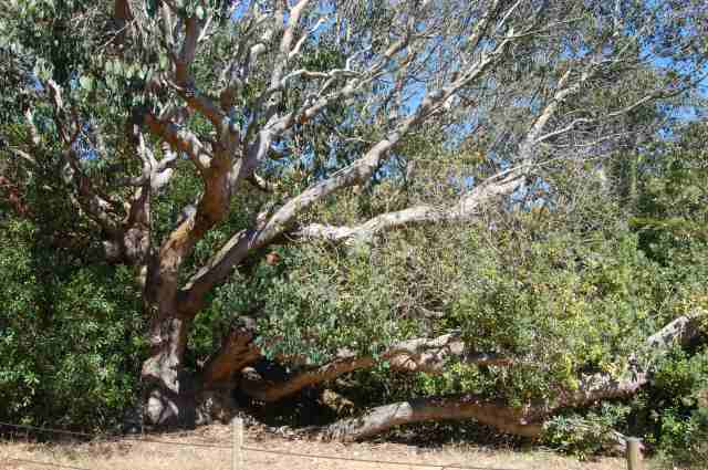 Tree spreading laterally