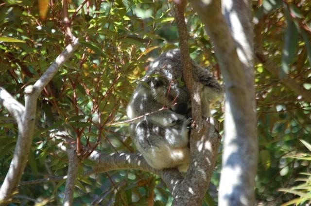 Koala Tree Nap Time