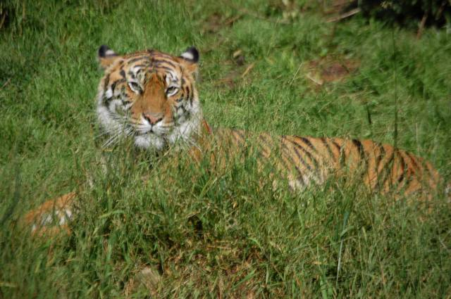Tiger - In the grass, looking at me