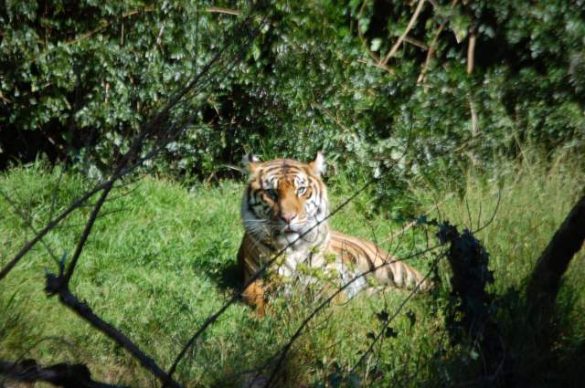 Tiger in the grass, front view