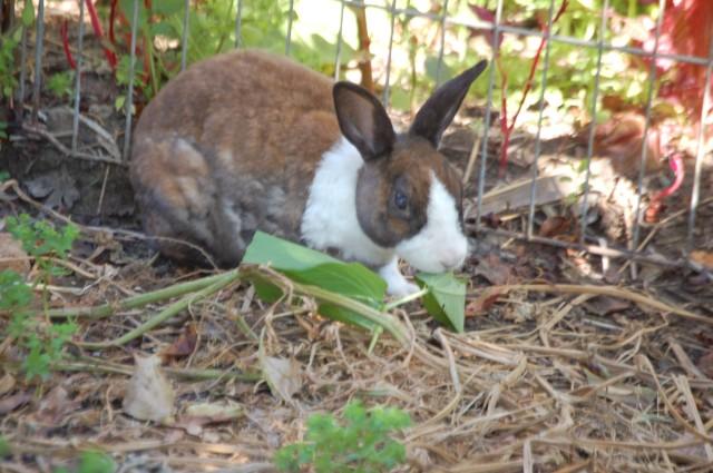 Ginger, my bunny, eating a Runner Bean leaf