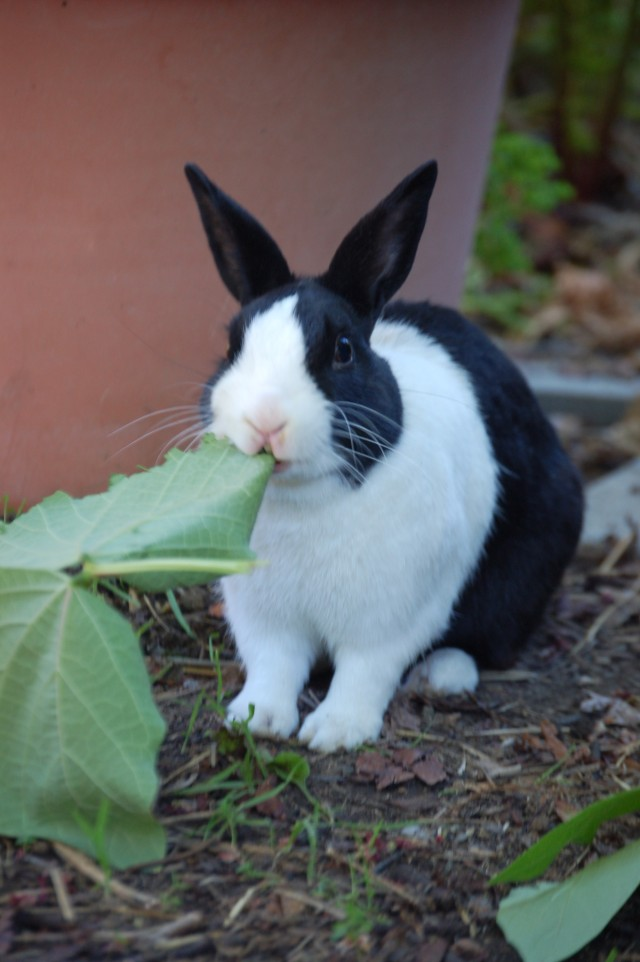 Little Tux, my bunny, eating a Runner Bean leaf.  A favorite treat.