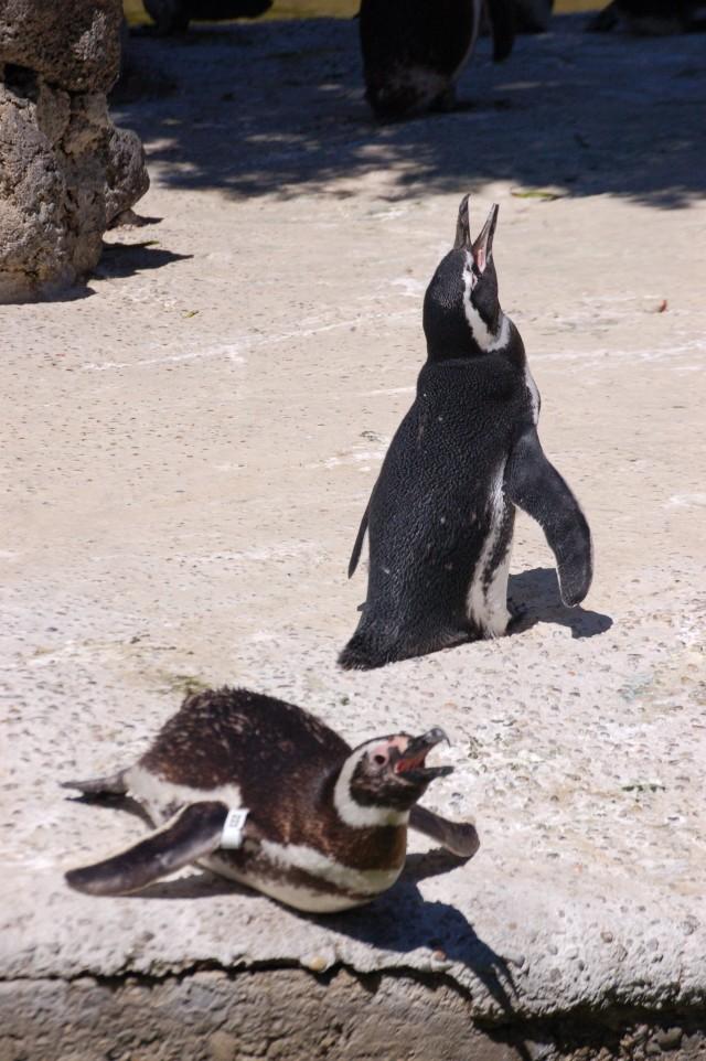 Penguins a gape