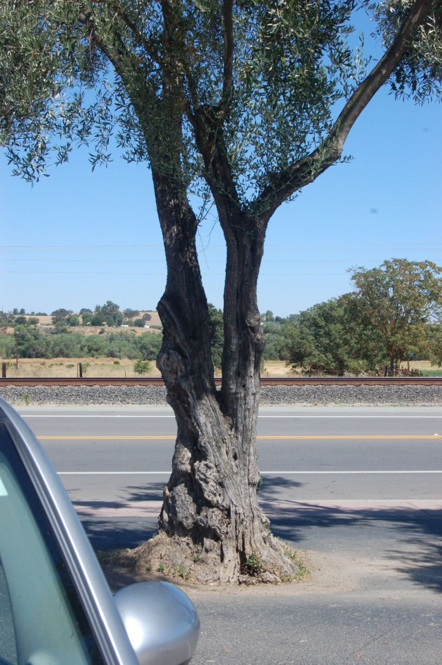 San Miquel Olive Tree
