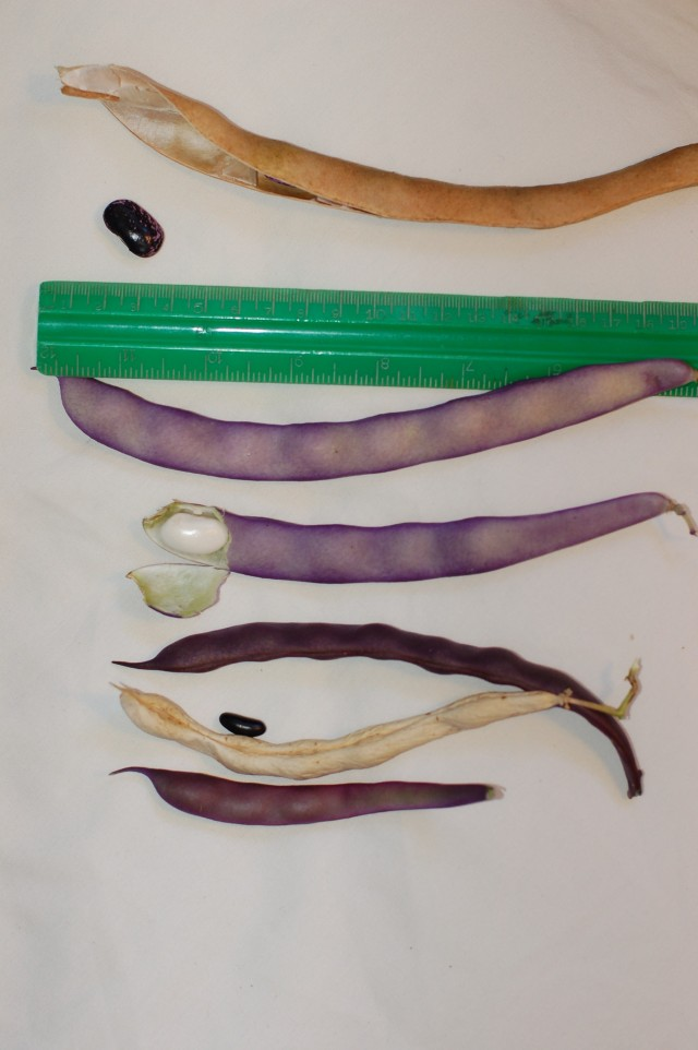 Cross of Purple Pod and Runner beans?