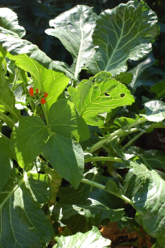 Kalards - A Dragon Kale, Green Glaze Collards, Cabbage cross