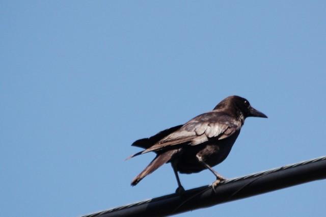 Crow DSC_6141