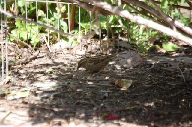 Sage Shade Bird DSC_6156
