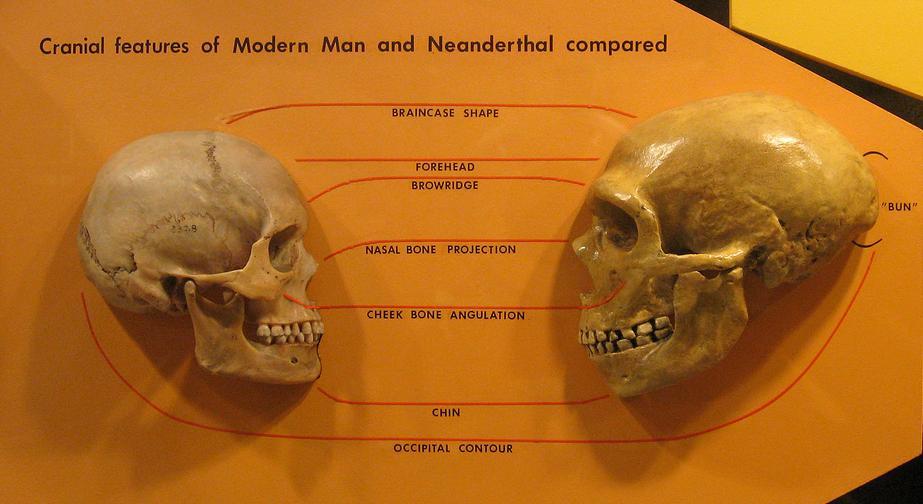 Homo sapiens vs neanderthal skulls