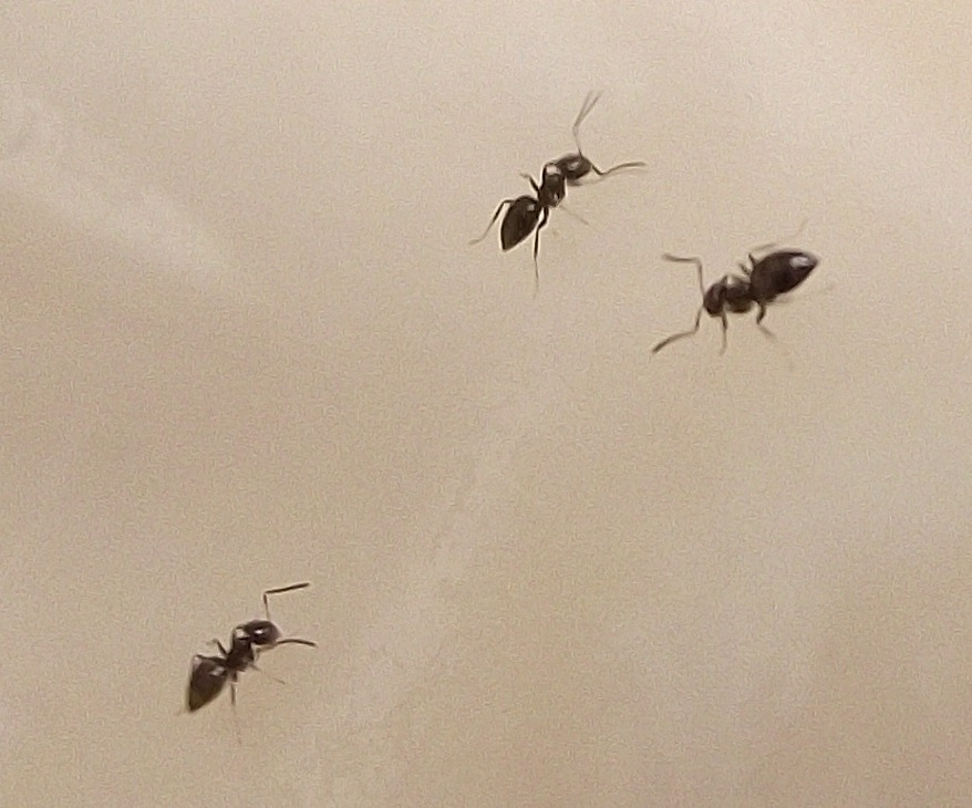 Micro Ants Close Up