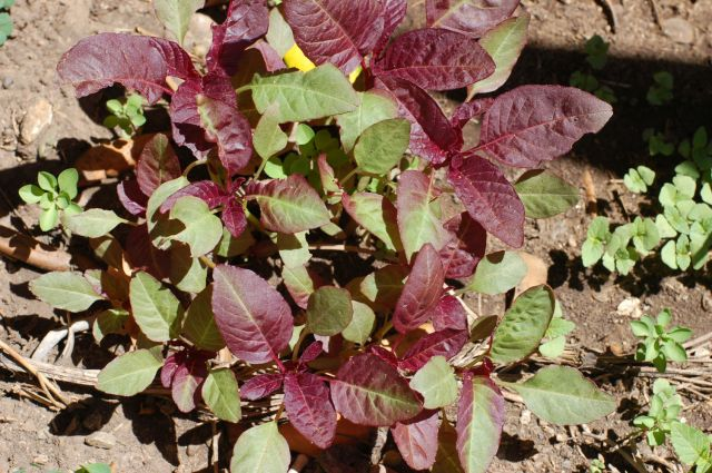 Hybrid Hopi Red / commercial Amaranth