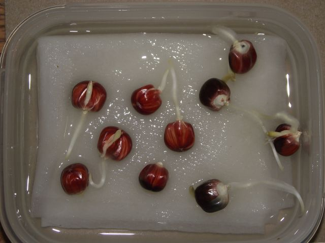 2015 germination of 2004 corn stored in refrigerator showing 90%+ live