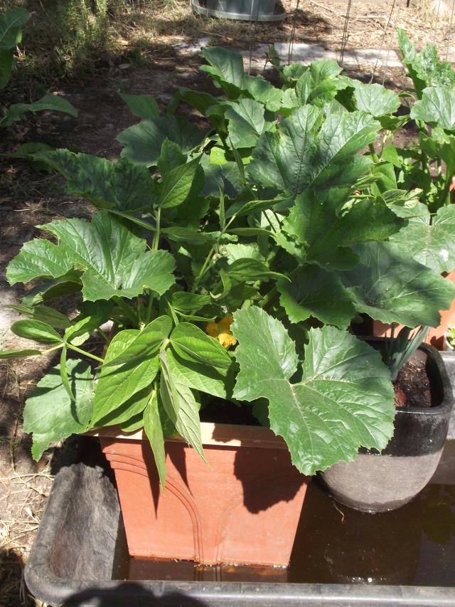 Tub at first vegetables set stage - End April