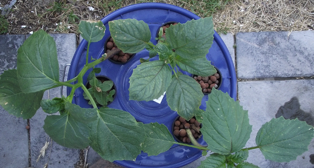 Tomatillo in 5 Gallon Kratky Method bucket