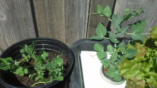 Lincoln Peas Hydroponic cup vs dirt pot