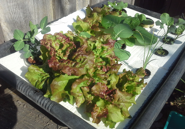 Hydroponic Lettuce Harvest time