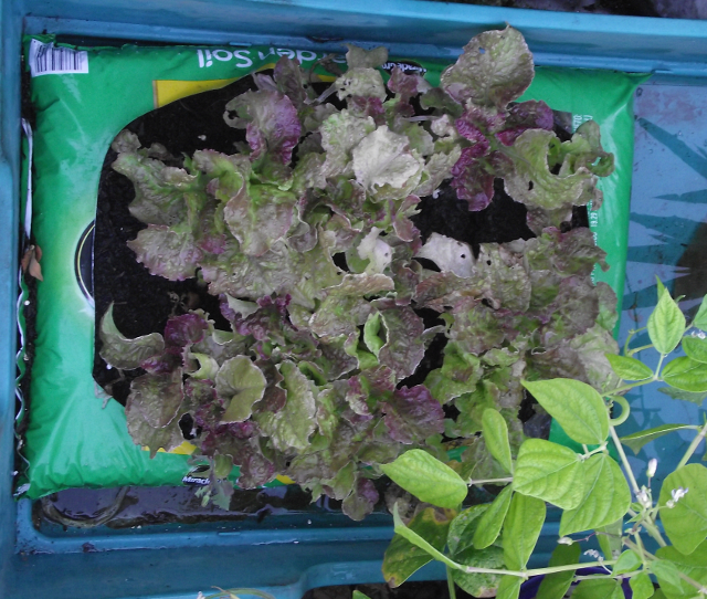 Lettuce in Bag-O-Dirt 29 June 2019