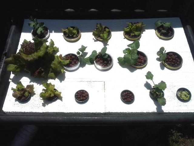 Hydroponic Tiny Garden at 2 weeks